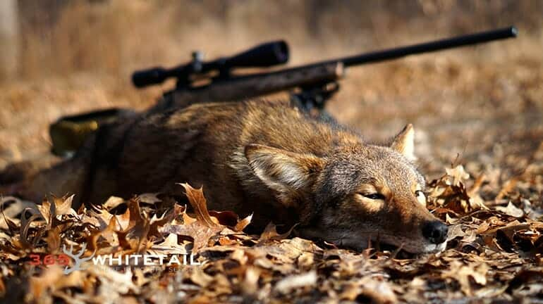 Best Coyote Gun For Coyote Hunting