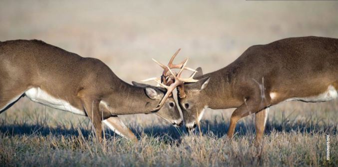 The biggest buck isn't always the bully on the block. Though big antlers can play a role in determining breeding rights, attitude is often the dominating factor.