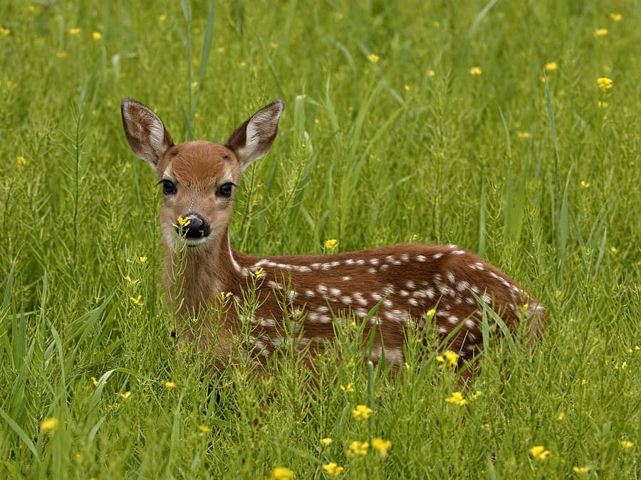 Studies show that coyote predation on white-tailed fawns can reduce fawn recruitment, reducing a deer population's positive growth rate.